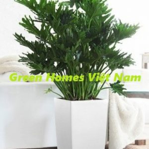 Cây trầu bà lá xẻ - Green Homes Việt Nam