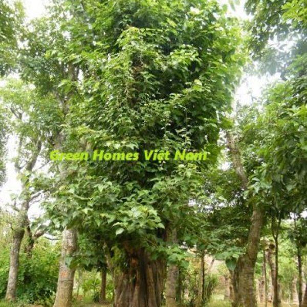 Cây Bồ đề - Green Homes Việt Nam