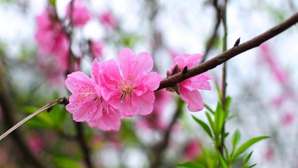 """Cây Hoa đào - 7 loài cây """"cầu an"""" nên trồng"""