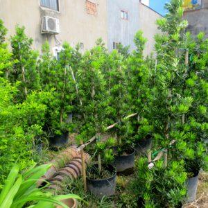 Vườn-cây-Vạn-Niên-Tùng